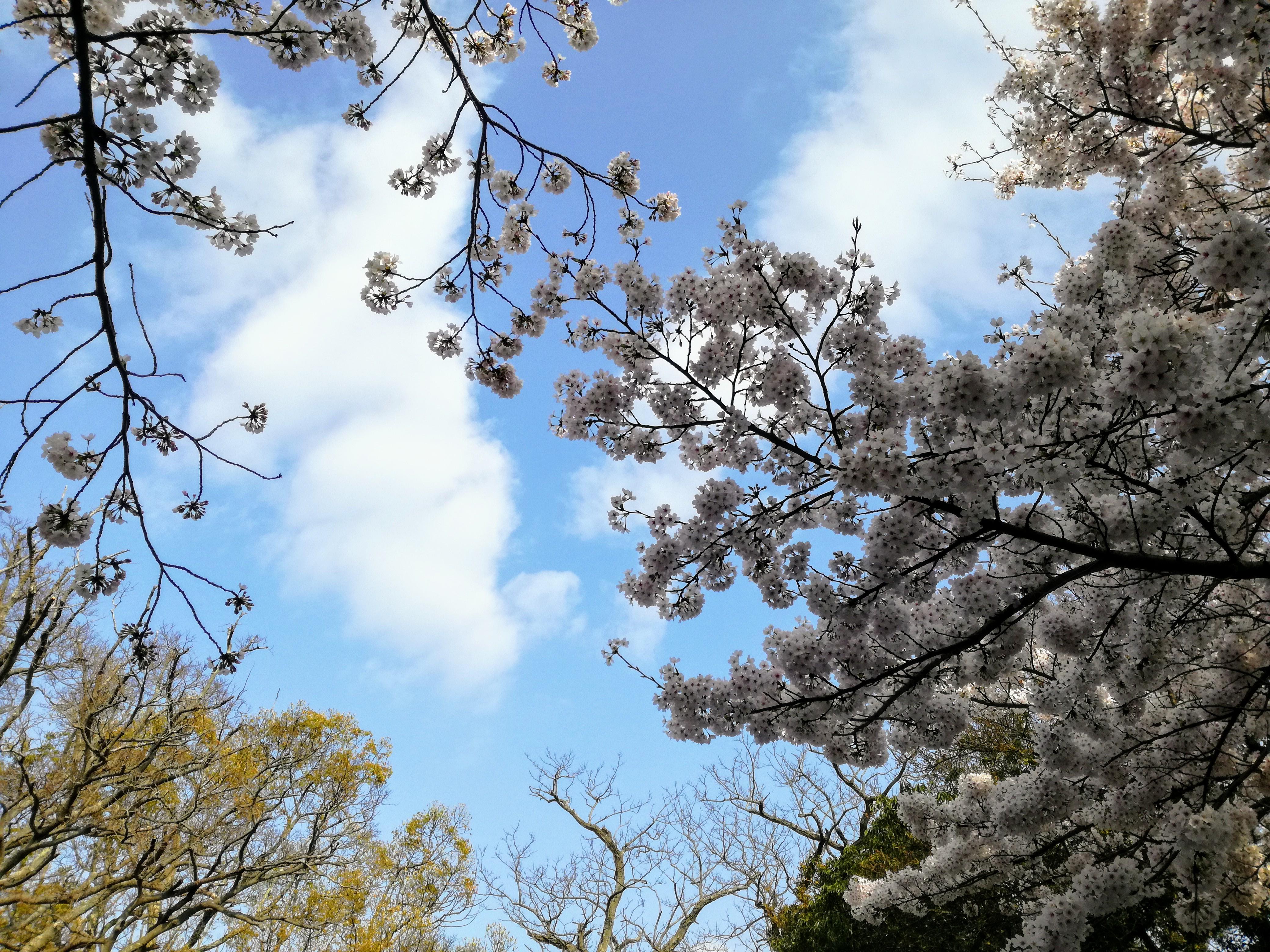 花見@明石城公園