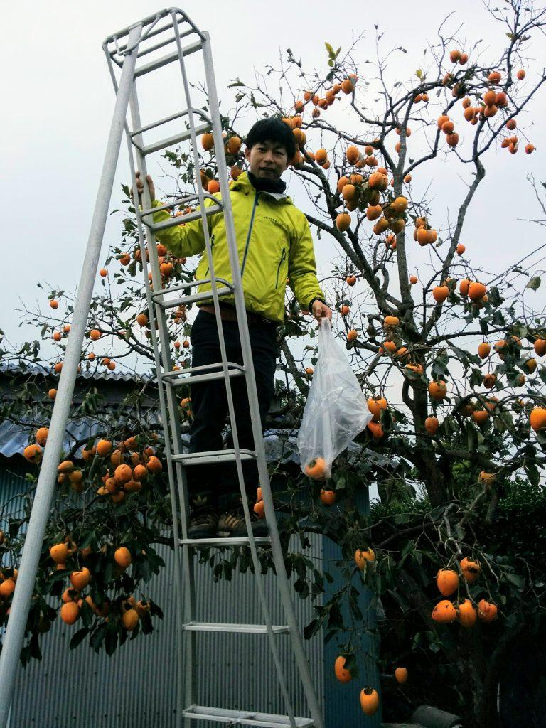 おっきな柿が穫り放題