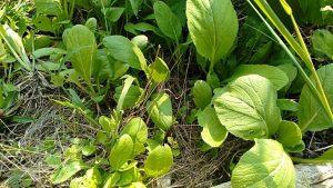 小松菜っぽい食べられる葉もの
