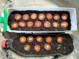 4. 土の上にトマトを並べる