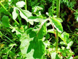 ルッコラの葉