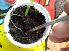 ポッド苗に植え替えます
