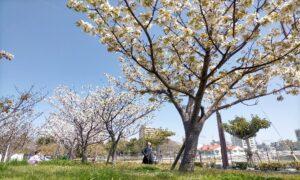 マリンピア神戸前の公園の桜